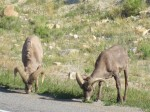 Just a couple of bighorn sheep grazing by the side of the road.